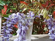 wisteria flowers thumbnail