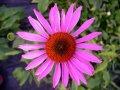 buy echinacea purpurea
