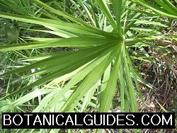buy saw palmetto berries
