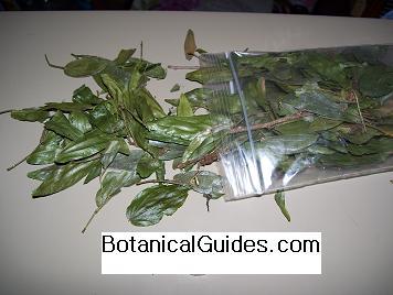 calliandra angustifolia dried