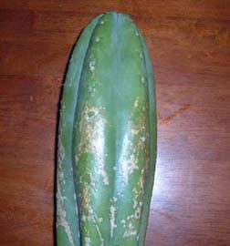 tom juuls hybrid trichocereus cactus cutting