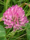 buy red clover