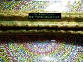 san pedro cactus cutting trichocereus pachanoi