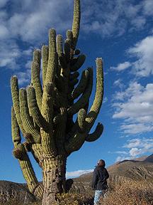 buy trichocereus terscheckii cactus seeds
