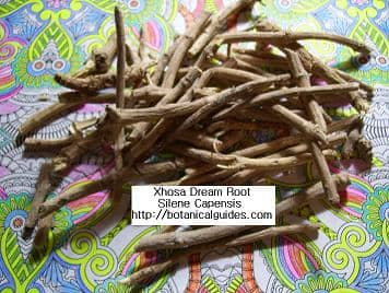 xhosa dream root silene capensis