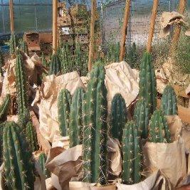 peruvian torch cactus for sale