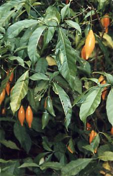 Buy Iboga Seeds TABERNANTHE IBOGA