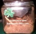 Ayahuasca caapi vine shreeded in glass jar