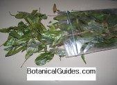 bobinsana calliandra angustifolia