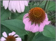 blooming pink daisy