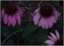 Echinacea purpurea flower