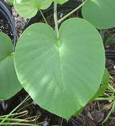Live Argyreia nervosa Plant