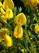 Buy Scotch broom Cytisus scoparius