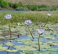 Nymphaea caerulea blue lotus