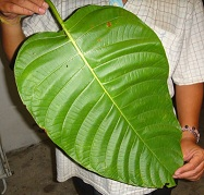 ground kratom leaf