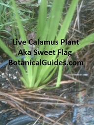 buy calamus sweet flag
