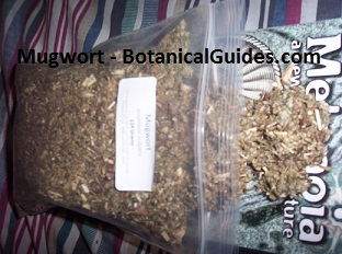 Mugwort Quarter Pound Dried Herb