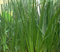 Calamus Plant