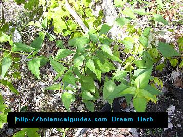 Calea Dream Herb Plant!