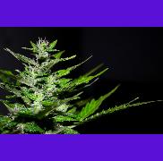 Flowering Marijuana Plant
