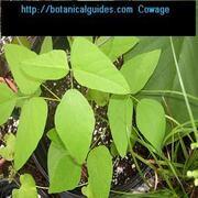 velvet bean live plant