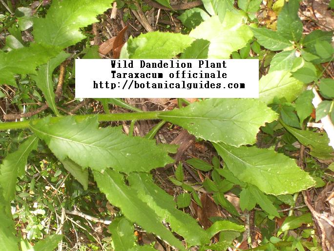 Taraxacum officinale leaf