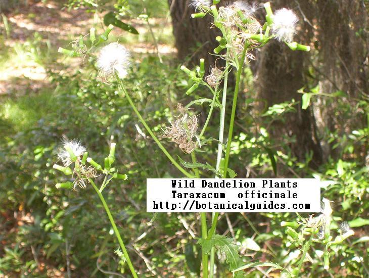buy dandelion root