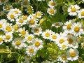 flowering tops