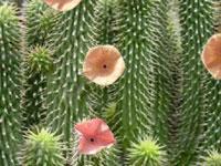 hoodia cactus