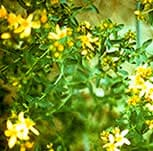 st johns wort flowers