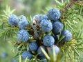 juniper berries on tree