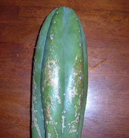 tom juuls cactus for sale