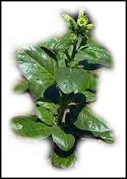 nicotine plant