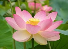 buy nelumbo nucifera