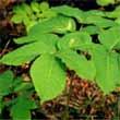 buy sarsaparilla herb