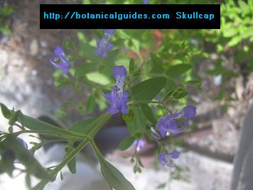 skullcap for sale