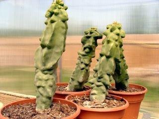 totem pole cactus seeds for sale