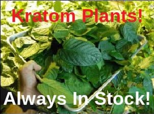 Live Kratom Plants For Sale