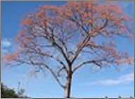 erythrina mulungu by wikipedia:Yikrazuul