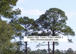 Pine trees in Florida