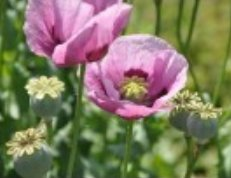 Buy pink Poppy Seeds!
