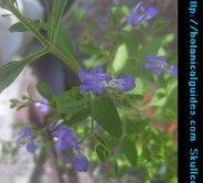 skullcap plant