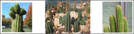 Sacred Cacti[Cactus]