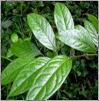 b caapi plants and root for sale