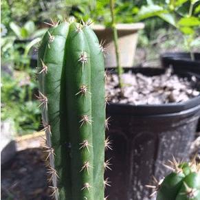 Peruvian Cactus Trichocereus